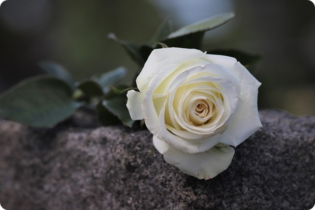 single-white-rose-4224617_1280